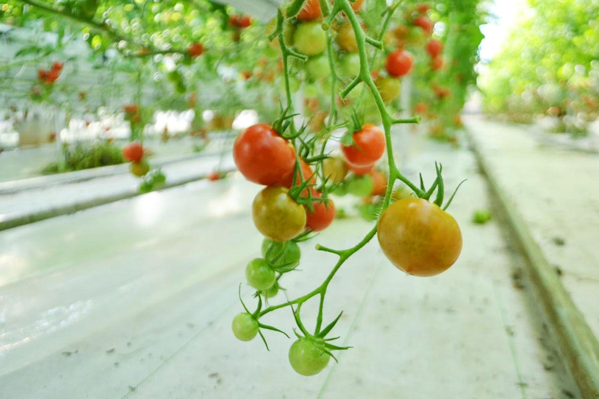 高く売れる野菜:トマト